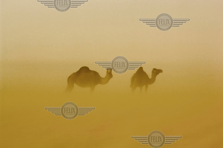 Camels during a sandstorm in the Sahara Desert town of Boujbeja. /Felix Features