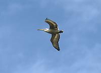 Dalmatian Pelican - Pelecanus crispus