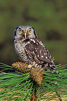 Northern Hawk-Owl. North America. (Surnia ulula).