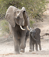A cow elephant and young calf cautiously approach a watering hole.