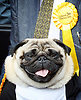 Nick Clegg unveils a new,  poster attacking Theresa May&rsquo;s decision to scrap free school lunches and replace them breakfasts costed at just 7p each. <br /> 31st May 2017 <br /> Geraldine Mary Harmsworth Park, London, Great Britain <br /> <br /> Pug - Nelson <br /> <br /> <br /> Photograph by Elliott Franks <br /> Image licensed to Elliott Franks Photography Services
