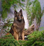 Belgian Tervuren<br /> <br /> <br /> <br /> Shopping cart has 3 Tabs:<br /> <br /> 1) Rights-Managed downloads for Commercial Use<br /> <br /> 2) Print sizes from wallet to 20x30<br /> <br /> 3) Merchandise items like T-shirts and refrigerator magnets