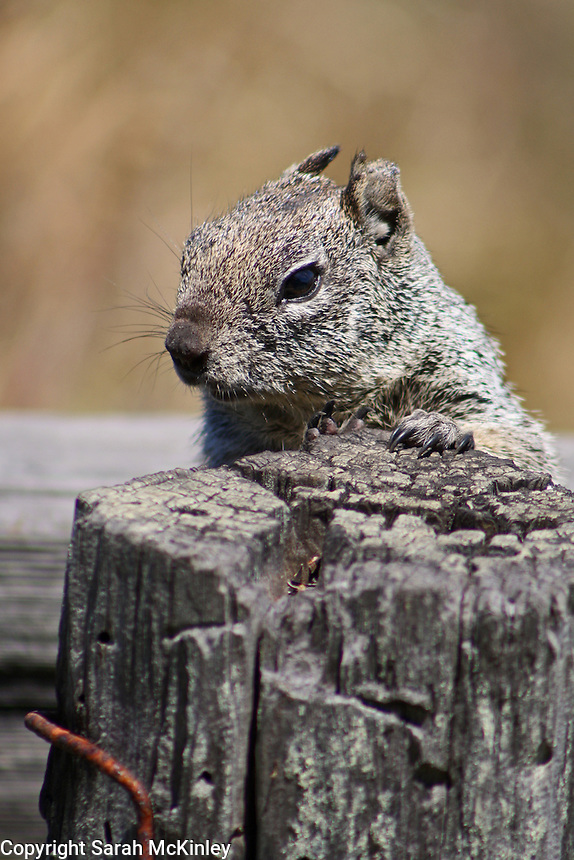 A ground squirrel looks over the top of a fencepost along the boardwalk at MacKerricher State Park near Fort Bragg in Mendocino County in Northern California.