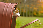 Jack Russell Terrier in red rural mailbox.