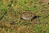 Common snipe  (Gallinago gallinago) feeding.