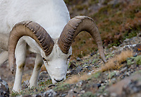 Dall sheep or Thinhorn sheep ram (Ovis dalli) feeding, Kluane National Park and Reserve, Yukon Territory. Sept.