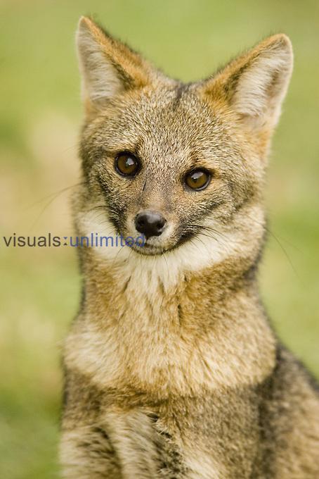 A Patagonian Gray Fox ,Pseudalopex griseus or Dusicyon griseus,, Patagonia, South America.