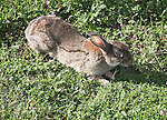 Rabbit blinded by Mixymatosis