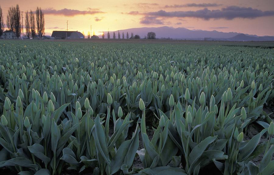 Field of tulips at sunrise, Mount Vernon, Skagit Valley, Washington