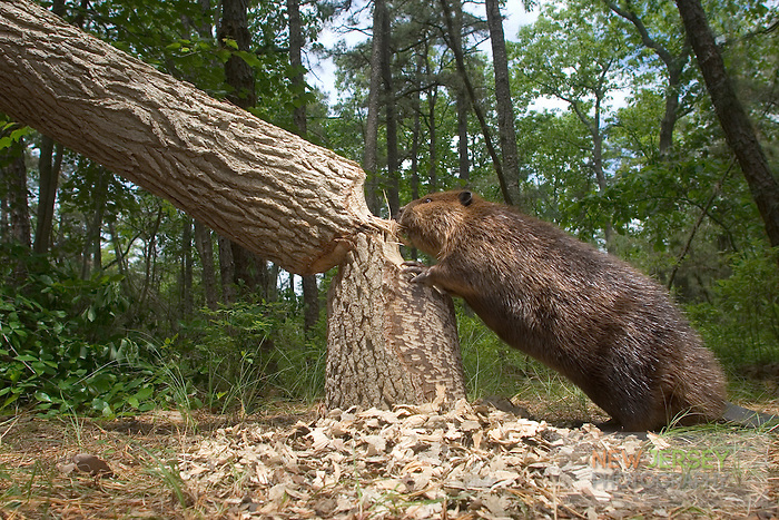 Beaver, cutting down a large oak tree, New Jersey