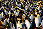 King Penguins incubate their eggs in large, compact rookeries. A rookery's density--birds are just about pecking distance from one another--provides a warmer, safer environment for incubating eggs and raising chicks.