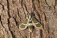 Schwärmer, Rethera komarovi, Rhetera komarovi, Schwärmer, Sphingidae, hawkmoths, hawk moths, sphinx moths, hawkmoth, hawk moth, sphinx moth