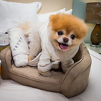 LAS VEGAS, NV - April 28 :  Boo, 'The World's Cutest Dog' sighting at a luxury penthouse at Trump International Hotel in Las Vegas, NV on April 28, 2014. © Kabik/ Starlitepics ***HOUSE COVERAGE***