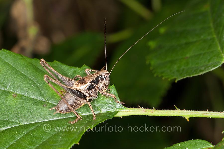 Gewöhnliche Strauchschrecke, Männchen, Pholidoptera griseoaptera, Thamnotrizon cinereus, dark bushcricket