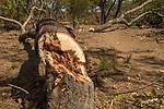 Cut down trees, Namwala, Zambia