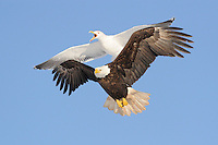 A black backed gull showing aggressive behavior towards a bald eagle over a scavenging site.