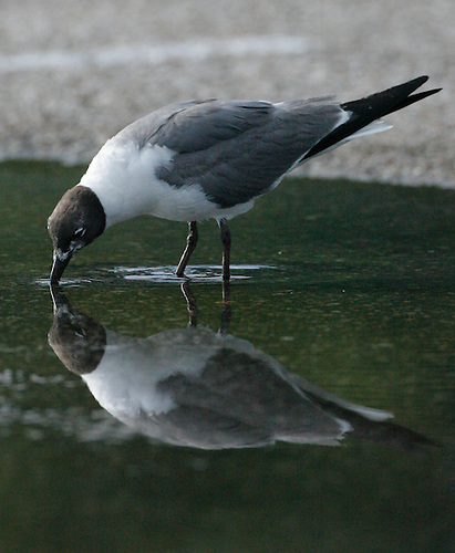 A Sea Gull gets a drink of water from a puddle formed by the rain earlier in the day in a parking lot in Hermann Park.  (Sunday, July 29, 2007, in Houston. ( Steve Campbell / Chronicle)