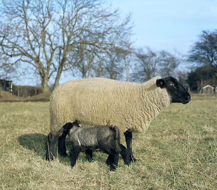 Sheep Ovis aries Shoulder height 50-70cm Coat comprises thick, rigid hair and thin, curly wool. Male (ram) has horns in most breeds. Female (ewe) usually has shorter horns. Juvenile (lamb) resembles female, but with shorter, cleaner coat. In lambing season, mothers and lambs utter the familiar 'baaing' and bleating calls respectively. Domesticated for millennia, kept for milk, wool, meat and hide.