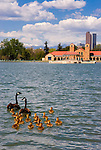 Canada geese family, City Park, Denver, Colorado.