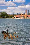Canada geese family, City Park, Denver, Colorado.