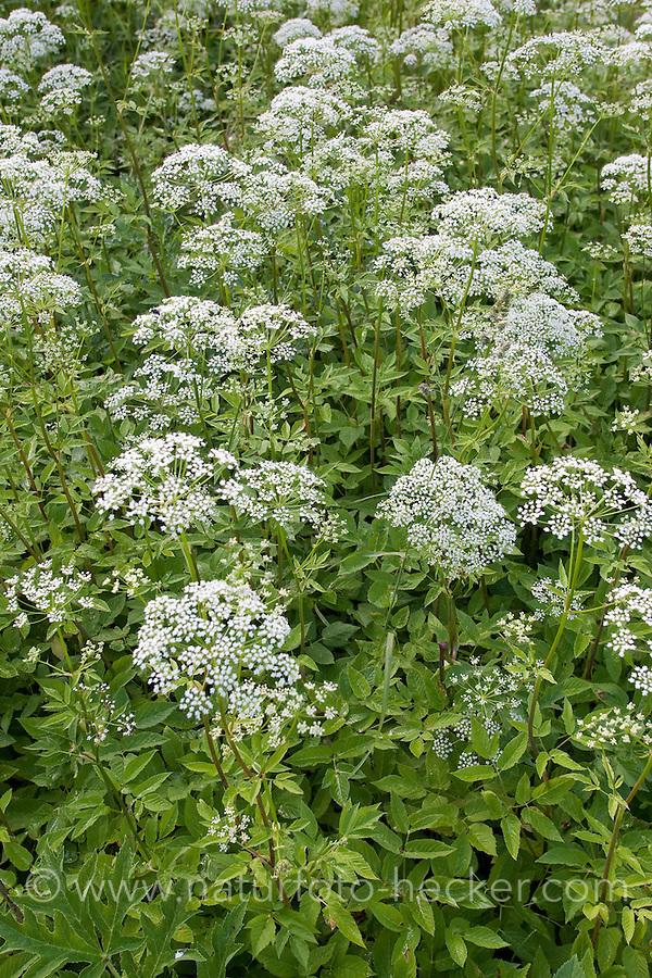 Gewöhnlicher Giersch, Geißfuß, Aegopodium podagraria, Bishop´s Weed, Ground Elder, Aegopode