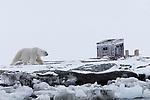 Norway, Svalbard, male polar bear walking along frozen fjord shore, old trapper cabin in background