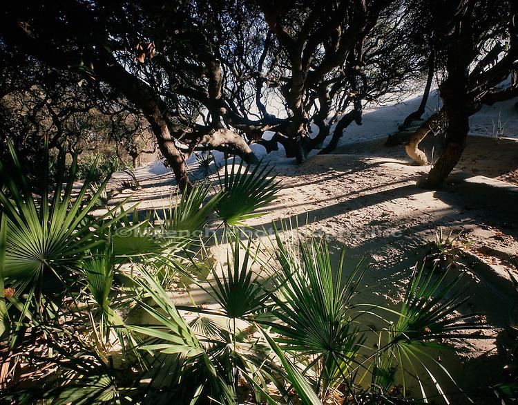 Live Oak and Palmettos in mooring dune Cumberland Island NS  GEORGIA