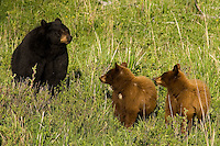 A mother black bear grazes with two young cubs in a meadow in Yellowstone National Park, Tuesday, May 31, 2005. (Kevin Moloney for the New York Times)