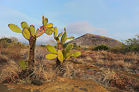 Prickly pear cactus (Opuntia echios), Puerto Egas Bay, Santiago Island, Galapagos Islands, Ecuador, South America