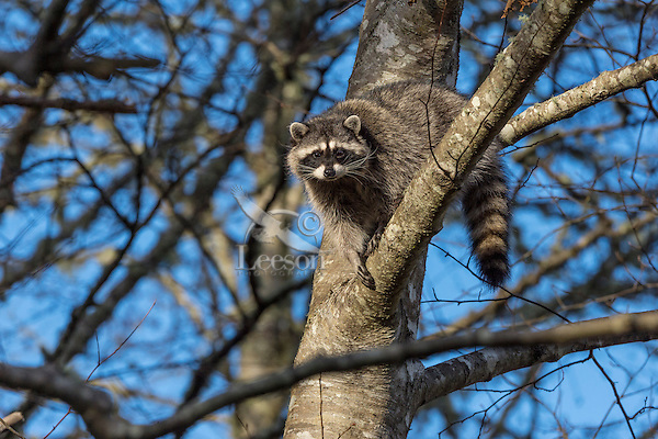Raccoon (Procyon lotor) up in red alder tree.  Pacific Northwest.  Fall.
