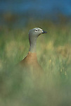 Portrait of Ashy Headed Goose in tall grass.Torres del Paine National Park, Chile.