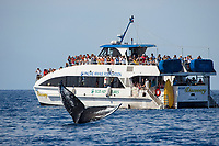 Tourists on a whale watching boat out of Lahaina, Maui, get a close up look at the tail of a humpback whale, Megaptera novaeangliae, Hawaii.