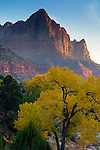 The Watchman over Cottonwood tree in fall, Zion National Park, Utah