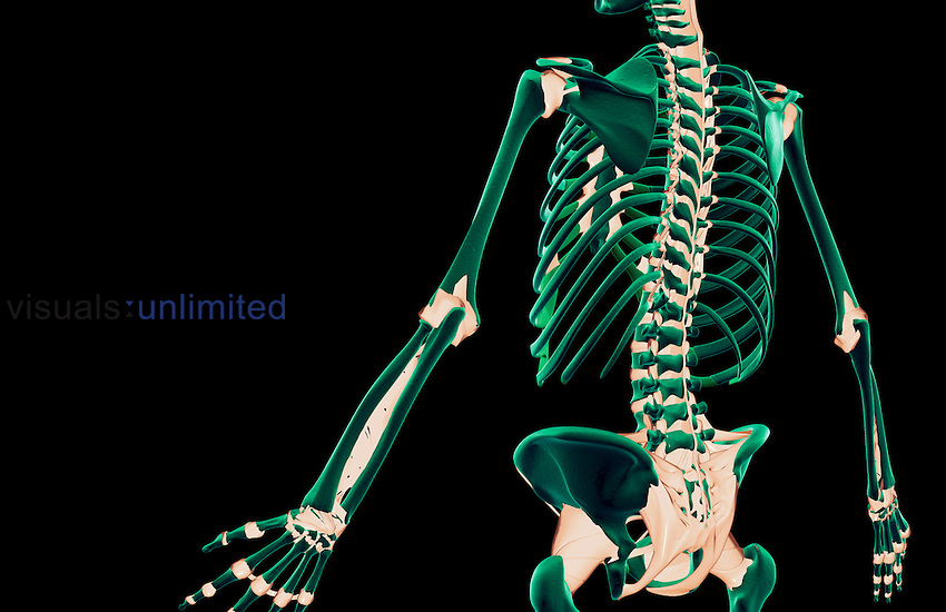 A posterolateral view (left side) of the ligaments of the trunk. Royalty Free