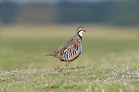 Red-legged Partridge - Alectoris rufa L 32-34cm. Dumpy, well-marked gamebird. Forms small parties (covies), outside breeding season. Hunted and often wary. Prefers to run from danger but flies low on stiffly-held wings. Sexes are similar. Adult has red bill and legs, and white throat bordered with gorget of black spots. Plumage is otherwise mainly blue-grey and warm buff except for black and white barring on flanks. Juvenile has grey-buff plumage with hint of adult's dark markings. Voice Utters a loud ke che-che, ke che-che… call. Status Introduced but well established, mainly on arable farmland with mature hedgerows and scattered woods.