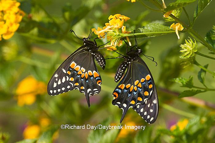 03009-01812 Black Swallowtail butterflies (Papilio polyxenes) male and female on New Gold Lantana (Lantana camara) Marion Co., IL