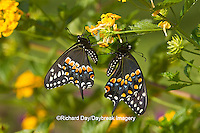 03009-01812 Black Swallowtail butterflies (Papilio polyxenes) male and female on New Gold Lantana (Lantana camara) Marion Co., IL