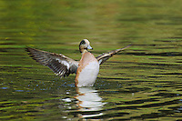 American Wigeon drake (Anas americana) drying wings.  Pacific Northwest.