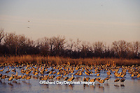 00882-01606 Sandhill Cranes (Grus canadensis) in Platte River near Kearney   NE