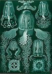 Cubomedusae, (Box Jellyfish), by Ernst Haeckel, 1904