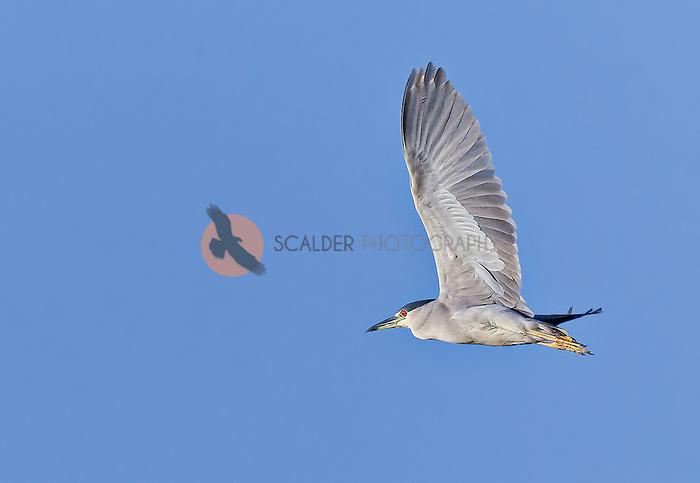 Black-Crowned Night Heron in flight with wings aloft against bright blue sky