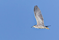 Black-Crowned Night Heron in flight with wings aloft against bright blue sky