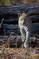 Young female Leopard (Panthera pardus) stalking the scrub forest. These cats have thick pads on their feet, which deaden the sound of their footfalls. Love her huge whiskers, which add to the sensory armory of this beautiful cat.