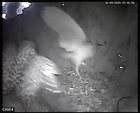 BNPS.co.uk (01202 558833)<br /> Pic: RobertFuller/BNPS<br /> <br /> The barn owl and kestrel, mid-fight.<br /> <br /> Brawling birds in nest ding dong...<br /> <br /> The gloves were off and the feathers were flying as these two birds of prey went wing-to-wing over a nesting box.<br /> <br /> This incredible footage shows a kestrel and a barn owl fighting it out for the prime spot to lay their eggs.<br /> <br /> The pair circle their boxing ring, staring each other down before attacking with talons and beaks in the hour-long stand-off.<br /> <br /> The bird brawl was captured by wildlife photographer Robert Fuller on a nestcam he had set up inside a 13ft-high old elm tree stump.