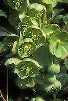 Helleborus argutifolius green flowers
