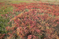 European Glasswort in saltmarsh<br /> Salicornia europea<br /> autumn