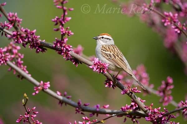 Chipping Sparrow (Spizella passerina) perched in flowering redbud, New York, USA