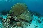 Hard boulder coral (Porites sp.).