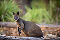 Swamp Wallaby, Greenpatch Beach, Booderee National Park, Jervis Bay Territory, New South Wales