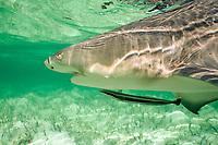 lemon shark, Negaprion brevirostris, with remora ( sharksucker ), Echeneis naucrates, Bimini, Bahamas, Caribbean Sea, Atlantic Ocean